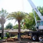 dactylifera - true palm landscape transplanting